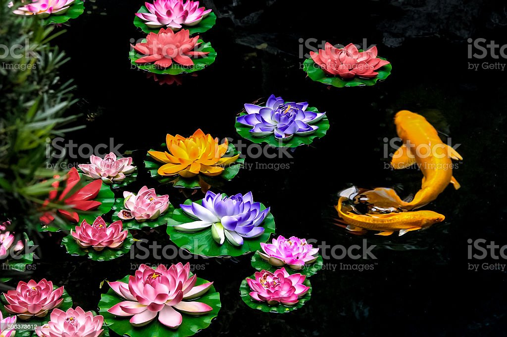 Koi fish and flowers on a pond stock photo