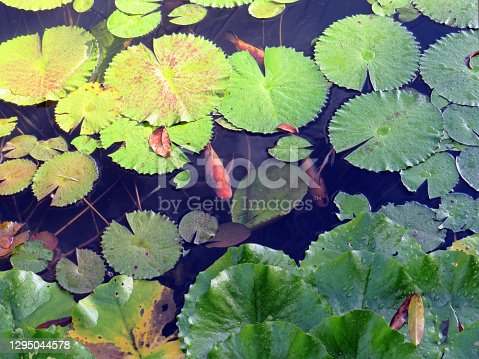 Koi fish carp and water lily leaves in a pond. Carp White Orange Pink Water Lily Pond Fish. Fish and water lilies background. National fish of Japan.