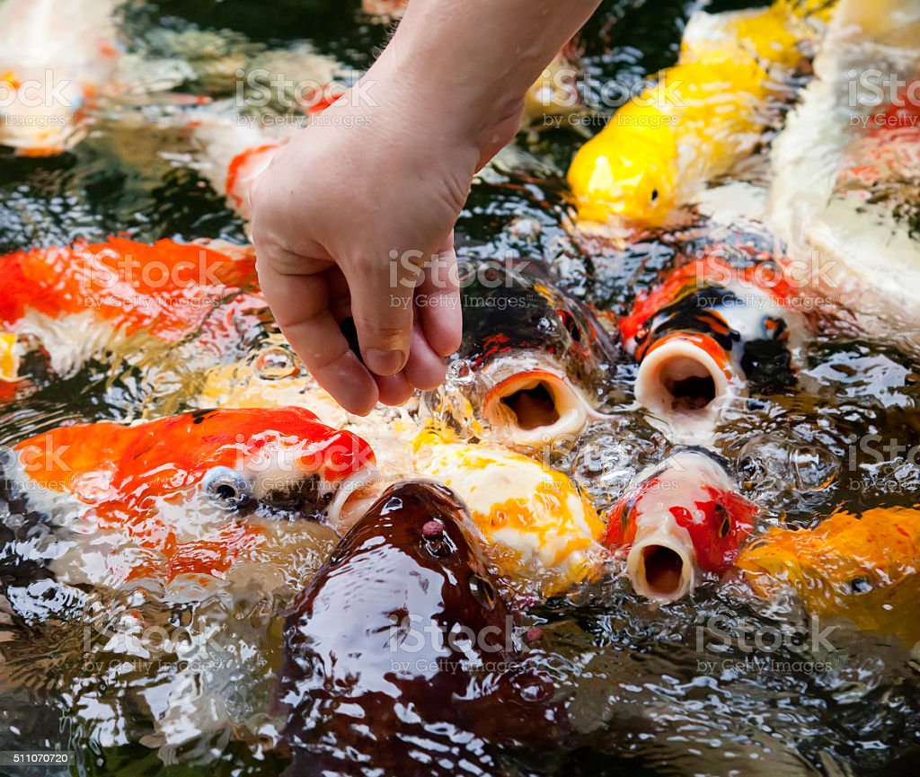 Koi (Cyprinus carpio haematopterus), fish fed from the hand stock photo