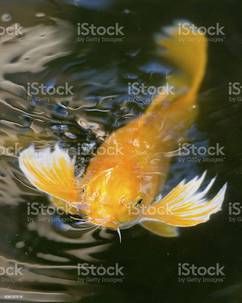 Koi Fish in a pond stock photo