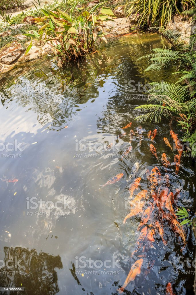 Koi Fish Backyard Pond