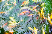 Koi fish in pond at temple in Luofu Mountain region in China
