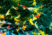 Koi fish in pond,colorful natural background.