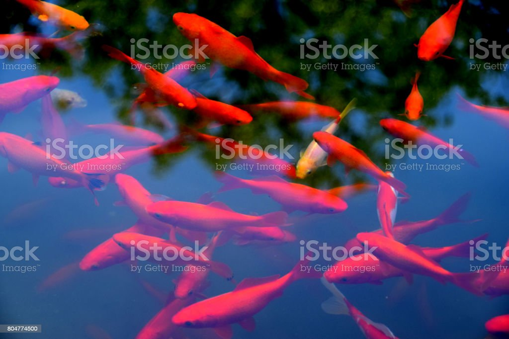 Koi fish in the clear water stock photo