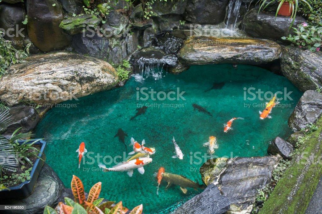 Koi vissen in de vijver - Royalty-free Aangelegd Stockfoto