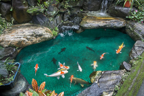 Top 60 koi pond stock photos pictures and images istock for Best koi pond