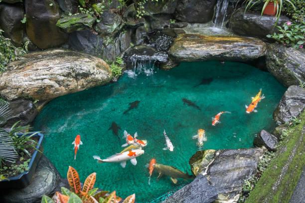 koi fish in the pond - пруд стоковые фото и изображения