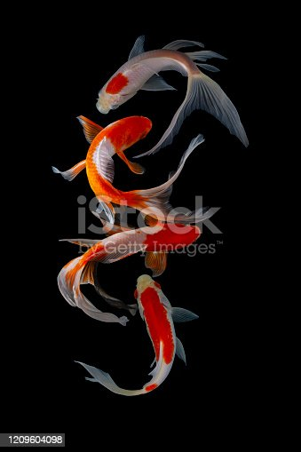 istock Koi fish isolated on black background 1209604098