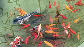 Koi fish. Japanese carp fish swimming in pond