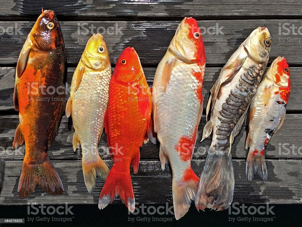 Koi Fish on Wooden Background stock photo