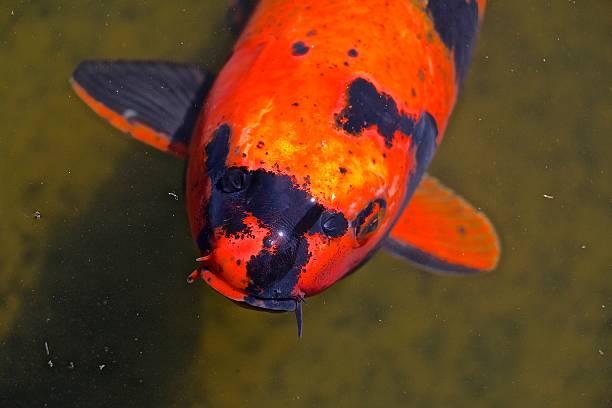 koi fish - aleks66 stock pictures, royalty-free photos & images