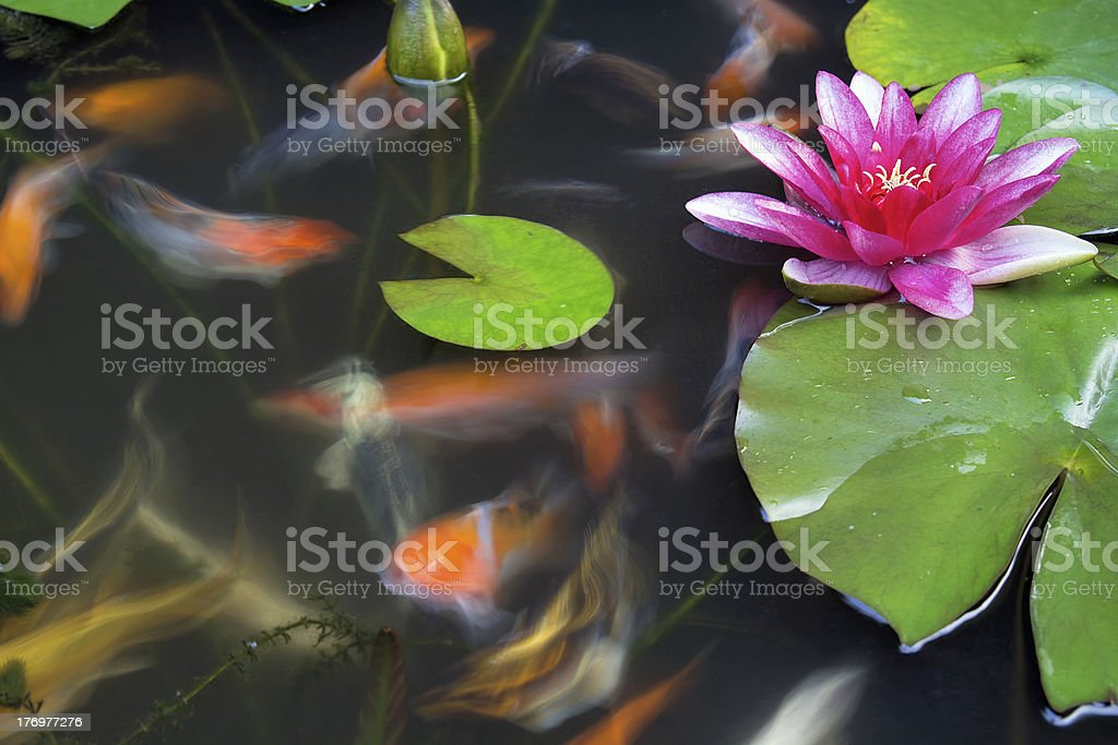 Koi Fish Swimming in Pond with Water Lily royalty-free stock photo