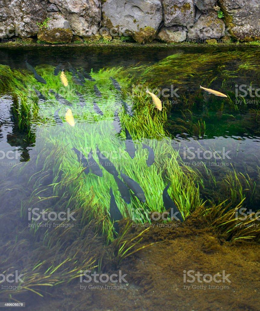 Bassin A Poisson Rouge photo libre de droit de poissons dans le bassin peuplé de