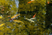 Koi fishes in an artificial pond
