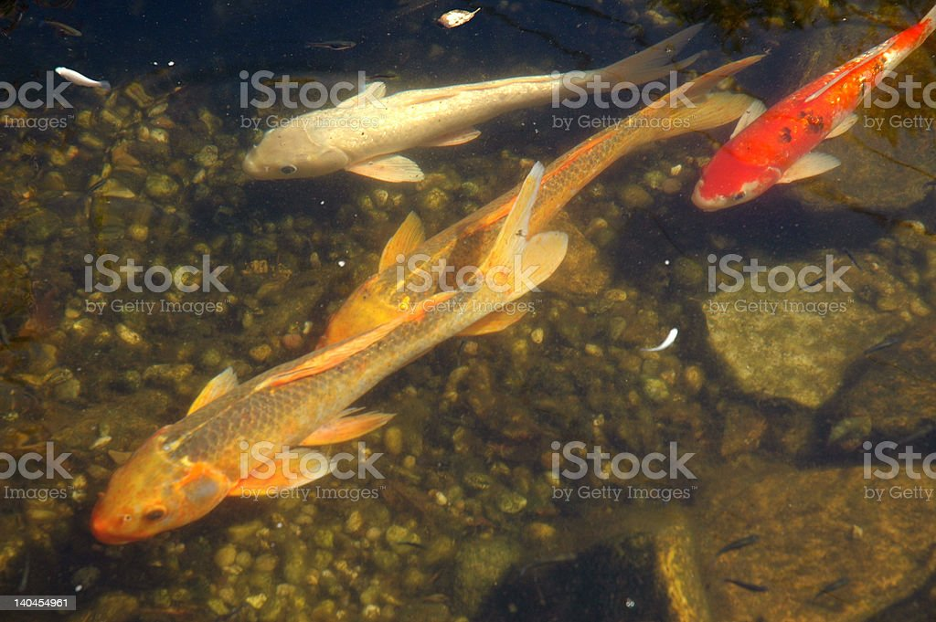 Koi or large goldfish swimming stock photo