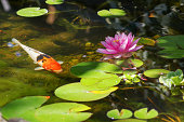 Koi fishs swimming at pond