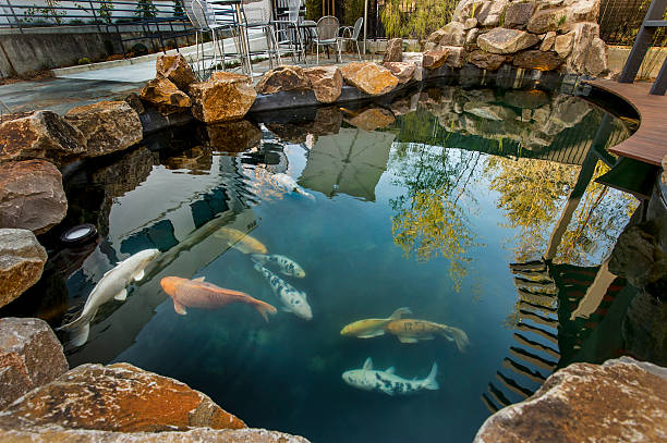 Best koi pond stock photos pictures royalty free images for Koi pond videos