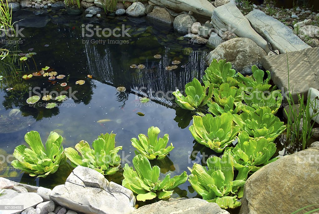 A koi pond with Lilly bud-less pads  stock photo
