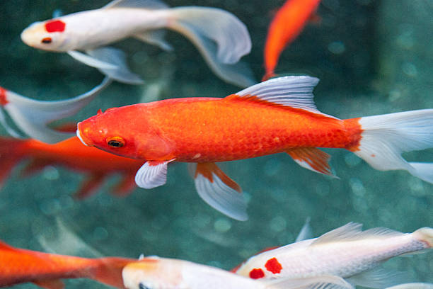 Koi swimming a pond stock photo