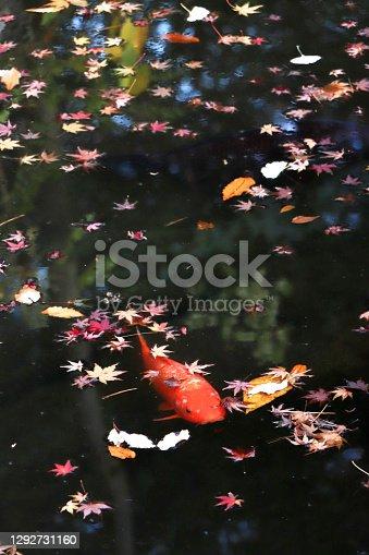 A Japanese red carp swimming in a pond at Kyu-Furukawa garden placing in Tokyo, Japan.