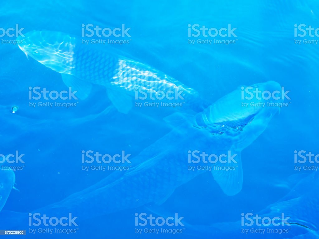 Koi swimming in the pond stock photo