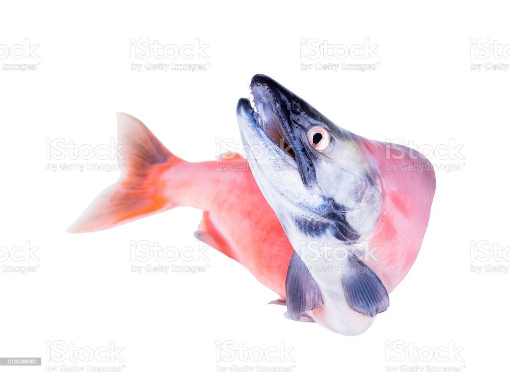 Kokanee is the landlocked version of  sockeye salmon stock photo