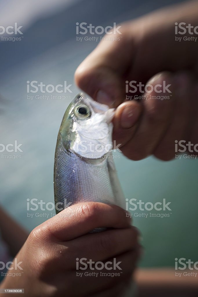 Kokanee Salmon royalty-free stock photo