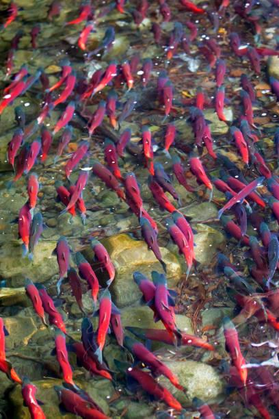 kokanee salmón de desove en el río - hueva fotografías e imágenes de stock