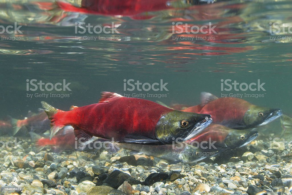 Kokanee Salmon Spawning stock photo