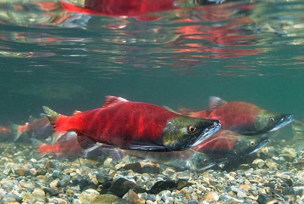 desove kokanee salmón - hueva fotografías e imágenes de stock