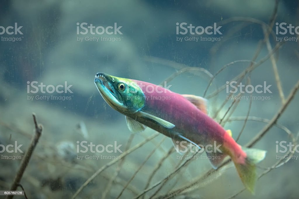 Kokanee salmon underwater stock photo