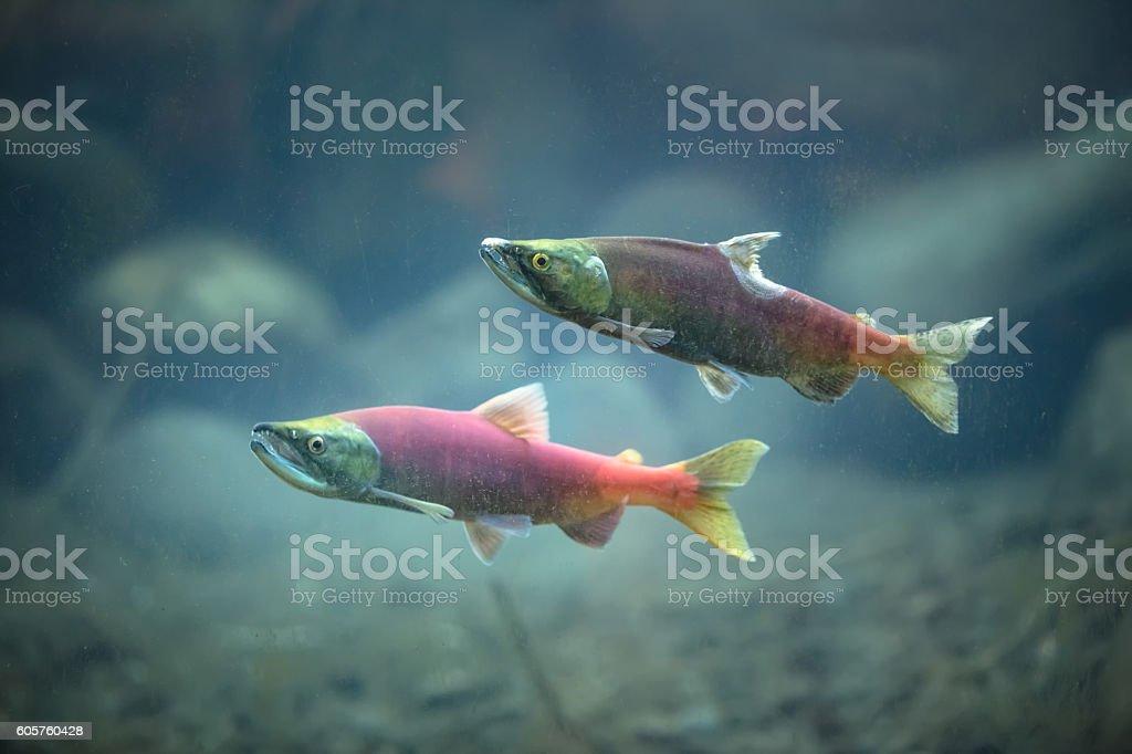 Kokanee salmon underwater stock photo