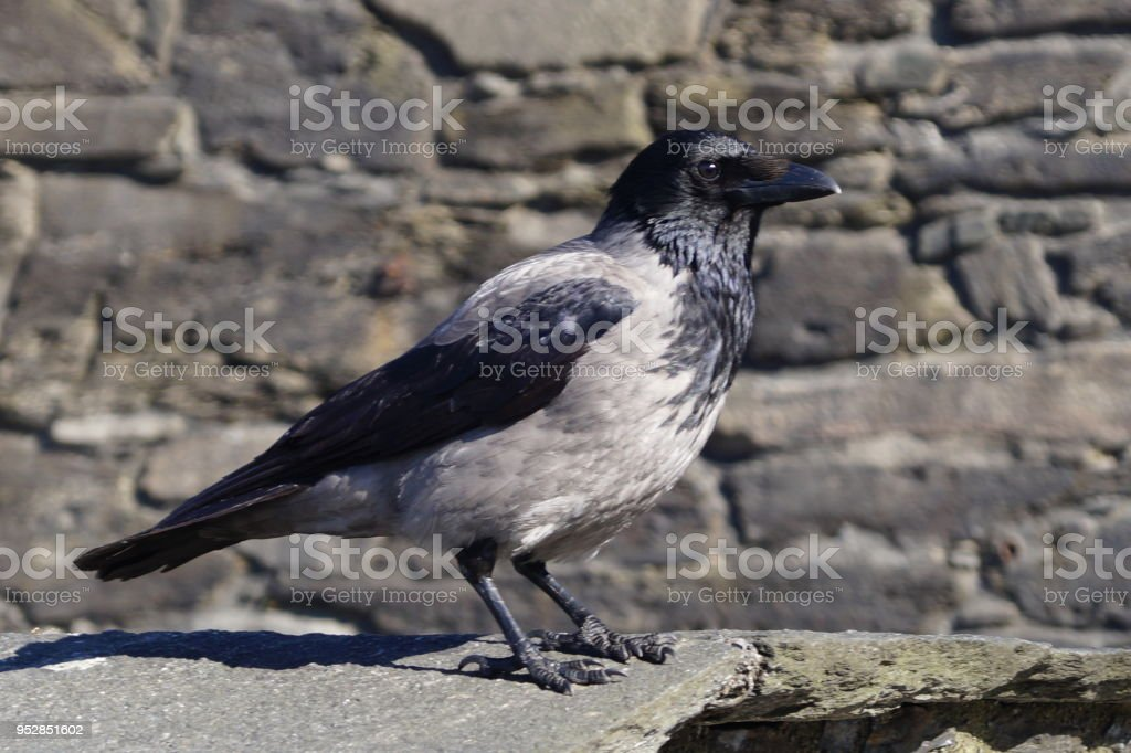 Kolkrabe - Corvus Corax stock photo
