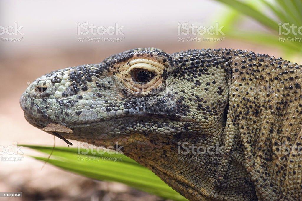 Komodo Dragon Head royalty-free stock photo