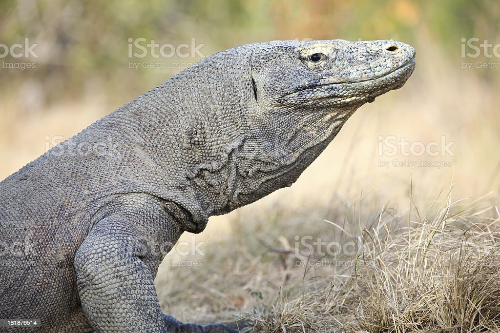 Komodo Dragon, Indonesia royalty-free stock photo