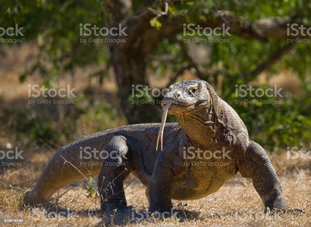 Komodo dragon is on the ground. stock photo