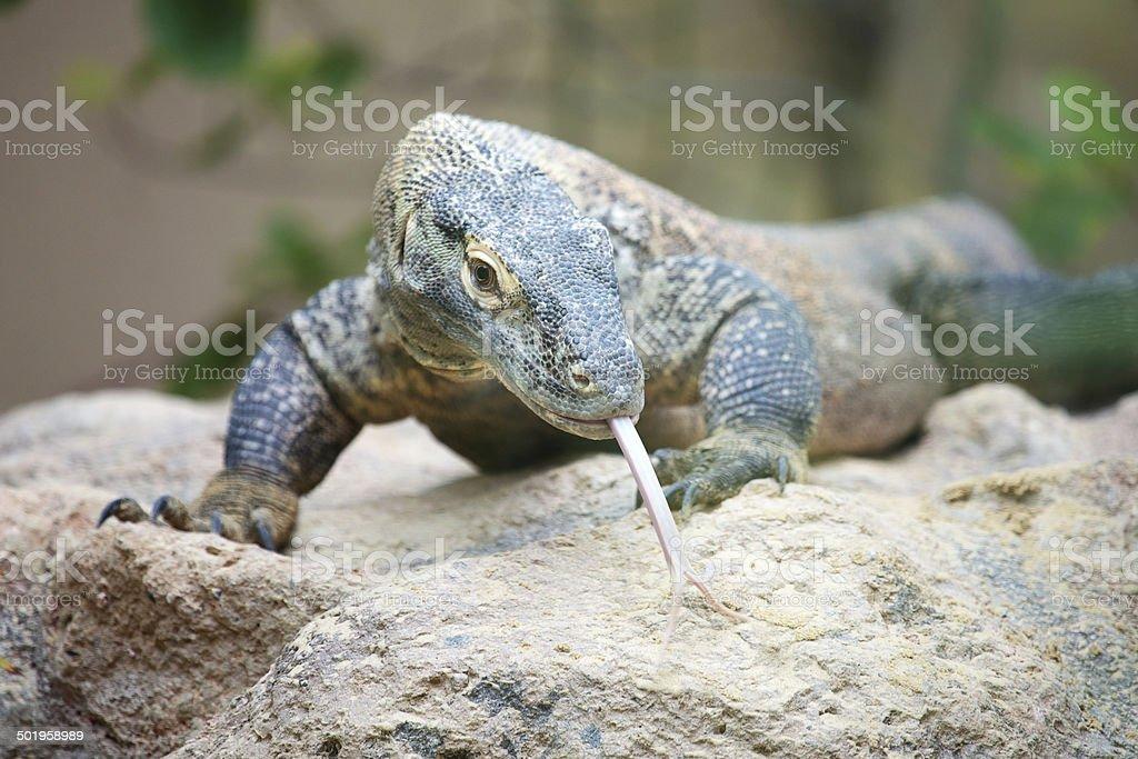 Komodo dragon on a rock royalty-free stock photo