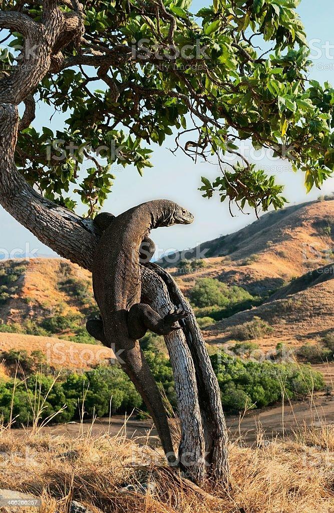 A Komodo dragon on a tree in a grassland stock photo
