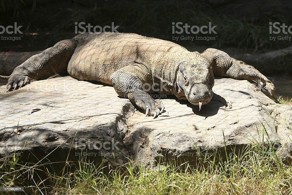 Komodo Dragon royalty-free stock photo
