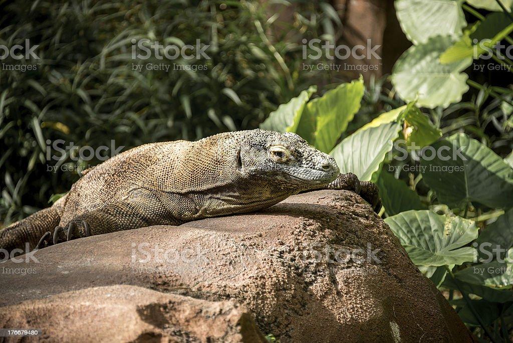 Dragón de Komodo foto de stock libre de derechos