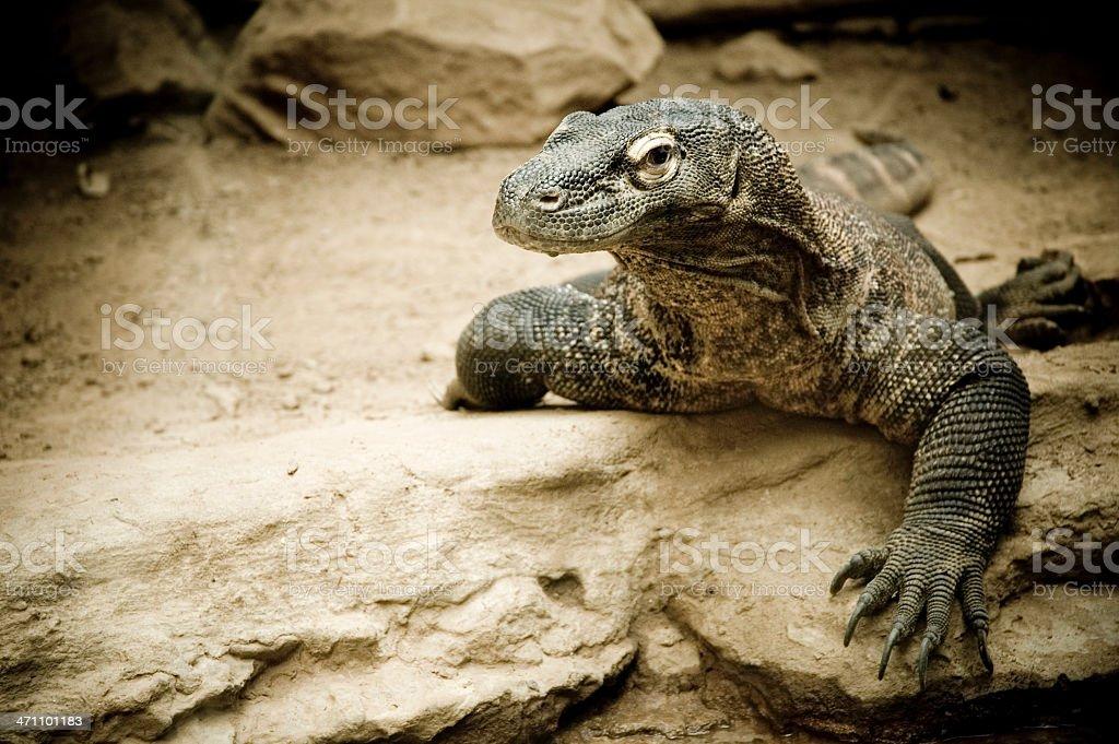 Komodo Dragon stock photo