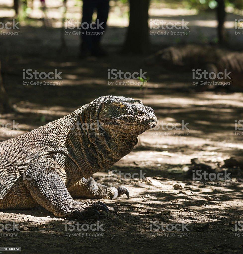 Komodo Dragon (Varanus komodoensis) royalty-free stock photo