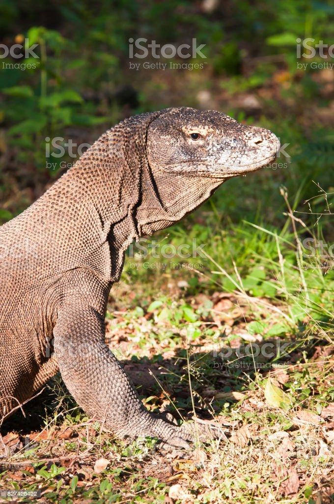 Komodo Dragon Portrait shows scaly, wrinkled skin. stock photo