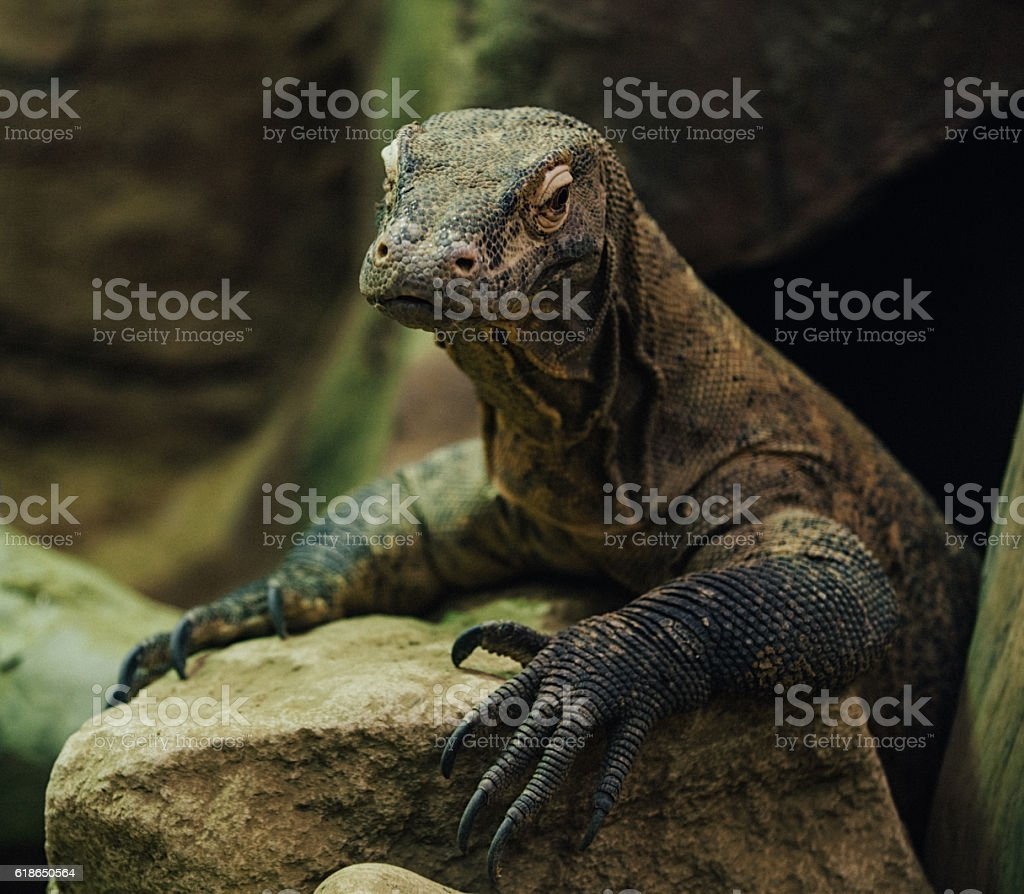 Komodo dragon reptile stock photo