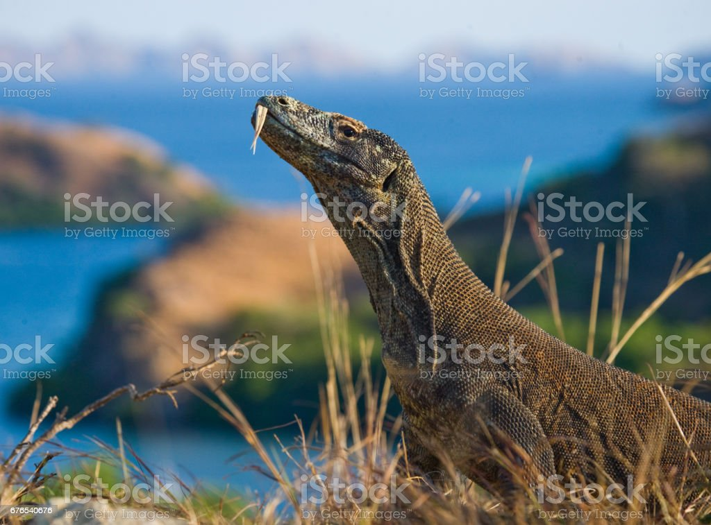 Komodo dragon sitting on the ground against the backdrop of stunning scenery. stock photo