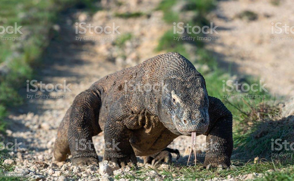 Komodo Dragon Sniffs The Air Stock Photo - Download Image
