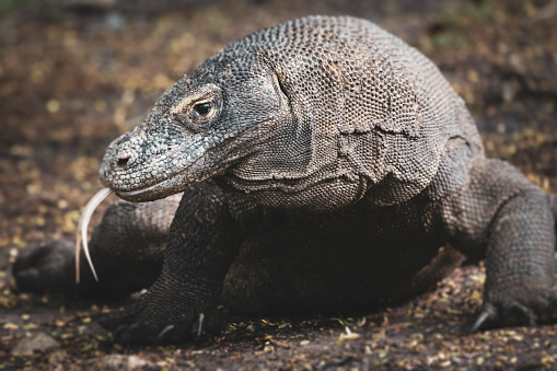 Large Komodo Dragon - Varanus komodoensis - with huge claws in the tree shade on rainforest ground, sticking out his tongue. Komodo Dragons or Komodo Monitor are the largest species of Lizards. Rinca Island, Komodo National Park, Labuan Bajo, East Nusa Tenggara - Flores, Indonesia, Southeast-Asia