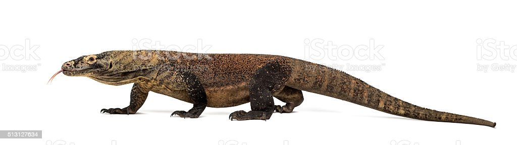https://media.istockphoto.com/photos/komodo-dragon-sticking-the-tongue-out-isolated-on-white-picture-id513127634