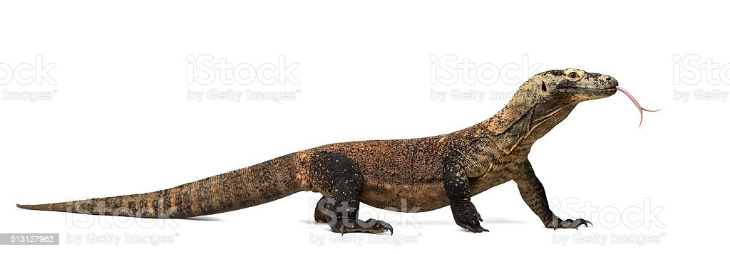 Komodo Dragon sticking the tongue out, isolated on white stock photo