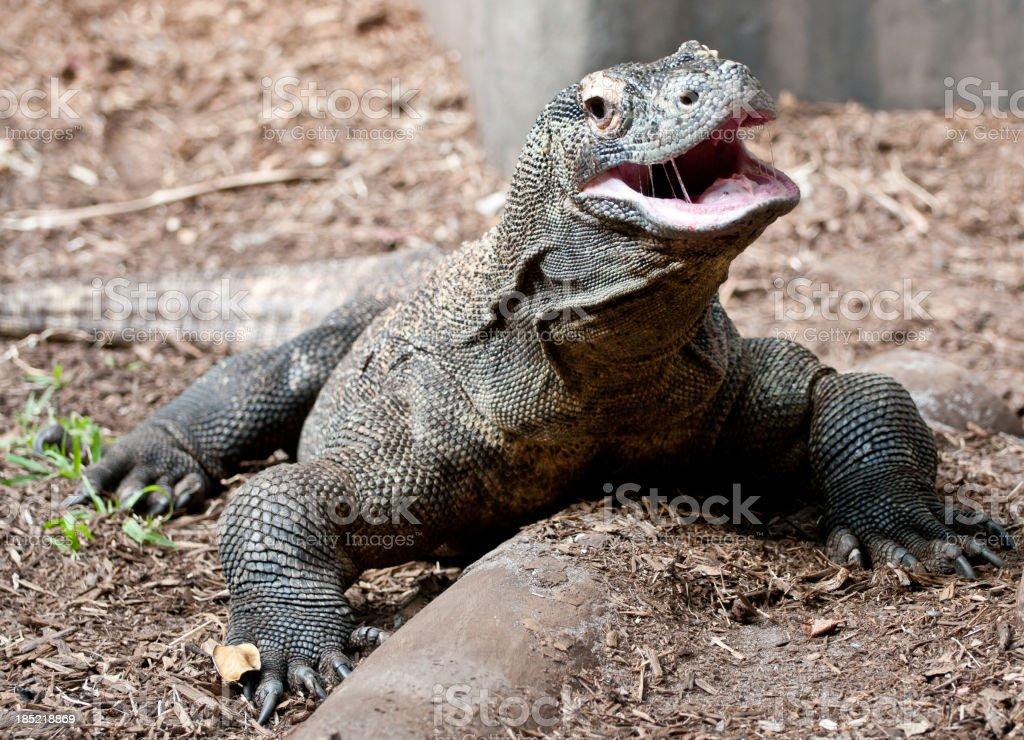 Komodo Dragon with Mouth Open stock photo